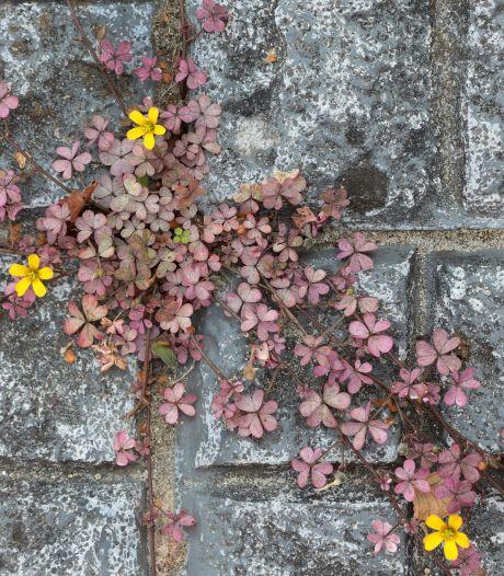 Plantjes maken een opmars tussen stoeptegels: 'Stadsnatuur werd als tweederangsnatuur gezien'