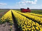 Tulpenfestivals van start, maar wat is er eigenlijk te zien