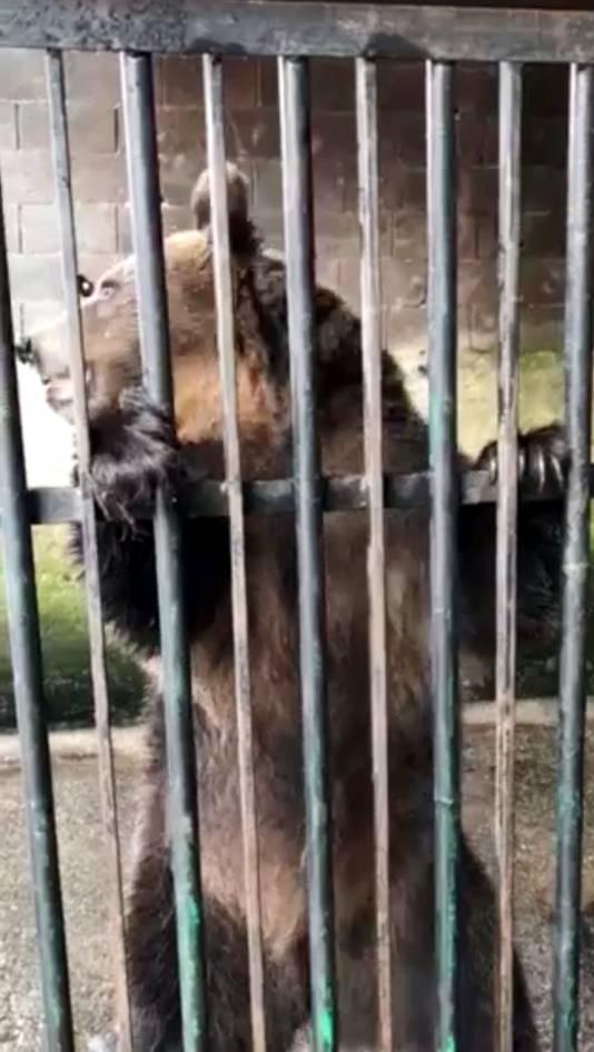 De vrouwtjesbeer in gevangenschap in Bosnië. Bears in Mind wil het dier naar het Berenbos in Ouwehands Dierenpark halen.
