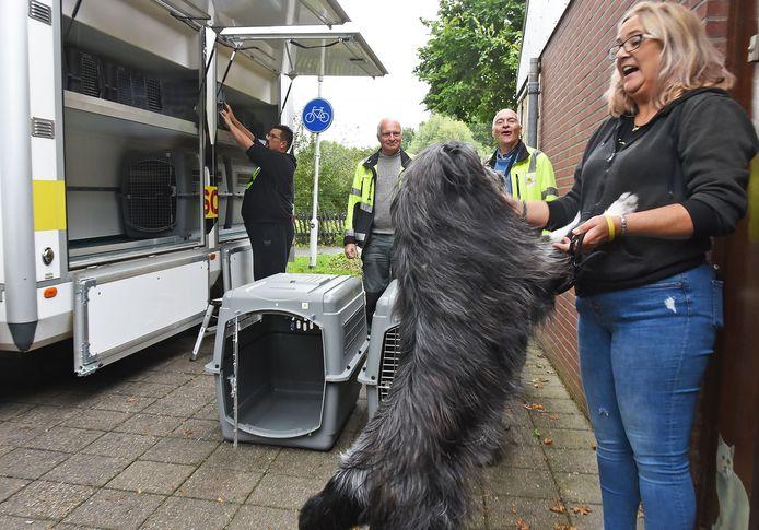 Boef wil wel mee met medewerkster Claudia van het Dierenasiel in Terneuzen. Ook kater Dizzy  en hondjes Princess en Angel laten zich gewillig in hun transportmandje zetten. Alleen herder Tessa past niet in de bench en gaat los mee.