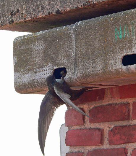 Sallandse huurwoningen moeten naast mensen óók plek bieden aan vleermuizen en vogels: 'Aantal dieren moet groeien'