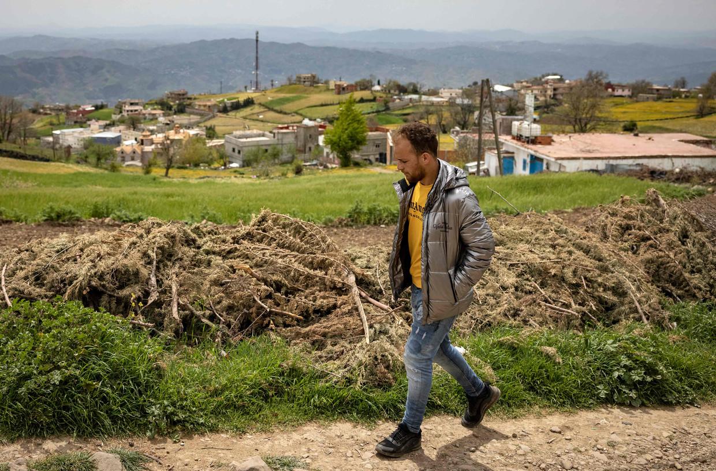 Marihuana-oogst in Ketama. De teelt is in Marokko verboden, maar de productie is altijd doorgegaan, vooral in het arme Rif-gebergte.  Beeld AFP
