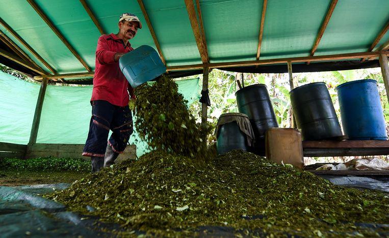 Oogst van cocabladeren voor de aanmaak van de cocaïnepasta 'cambullon' in een clandestiene boerderij in Colombia. Beeld AFP