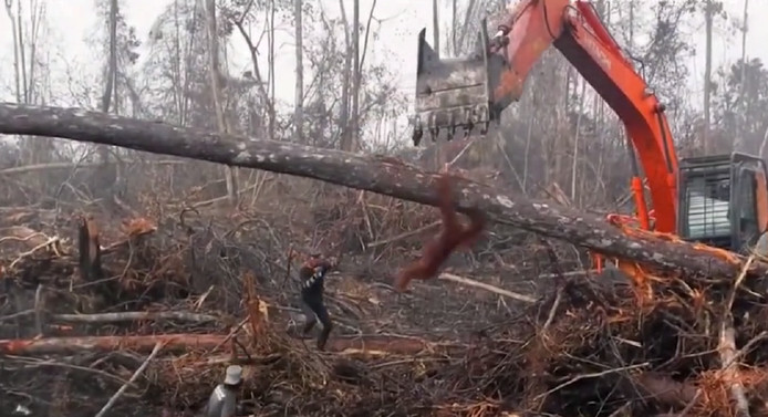 De orang-oetan valt van de boomstam.