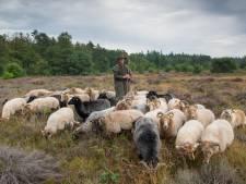 Staatsbosbeheer denkt aan professionele schaapskudde rond Putten