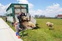 De schapen dartelen op het gras aan industriezone De Prijkels.