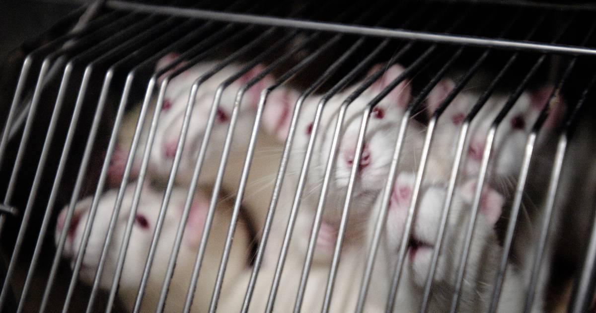 Vlaamse prof wil proefdieren redden: computer moet plaats innemen van deze muisjes - Het Laatste Nieuws