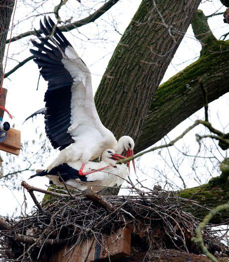 De ooievaars keren massaal terug uit het zuiden: 'Als een nest al bezet is, levert dat vuurwerk op'