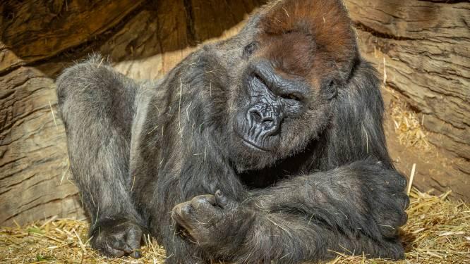 Coronabesmetting fataal voor tijgerin in Zweedse dierentuin, besmette gorilla's in de VS aan de beterhand