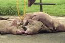Archieffoto. Bij een bedrijf in Wanroij worden varkens geruimd.