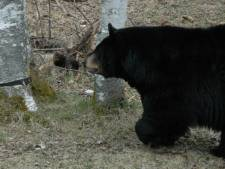 Trésors de la faune canadienne: l'ours noir