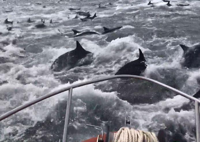 Des pêcheurs encerclés par des centaines de dauphins.