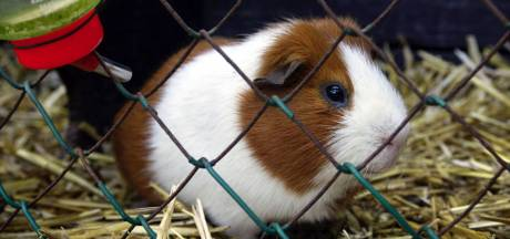Dierenpolitie vindt 55 dode cavia's in schuur West-Friesland