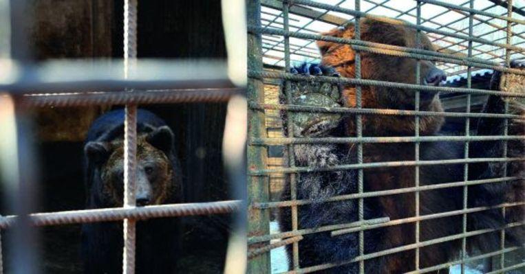 De twee beren die Bears in Mind wil ophalen in Oekraïne, als nieuwe bewoners van het Berenbos. Beeld Stichting Bears in Mind