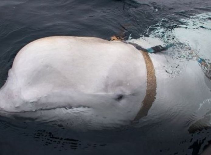De witte dolfijn droeg een soort van harnas.