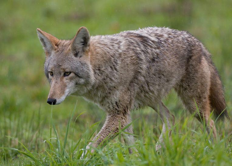 Zo ziet een coyote eruit als volwassen dier.