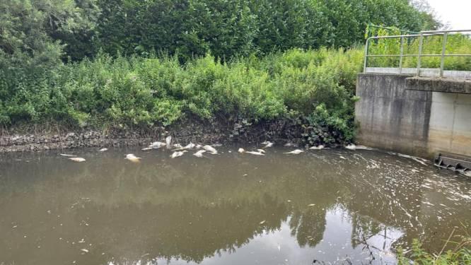 Een ander triest effect van de aanhoudende regen: Immense vissterfte in Demer