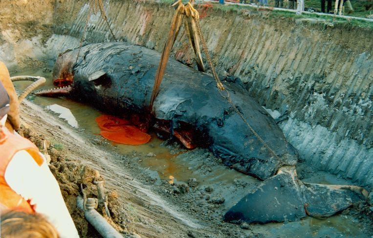 Potvis Valentijn werd in 1989 begraven bij Ten Bogaerde en wordt in de week van 13 mei terug opgegraven