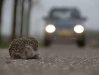 Egel komt het vaakst onder wielen van auto terecht in Vlaanderen