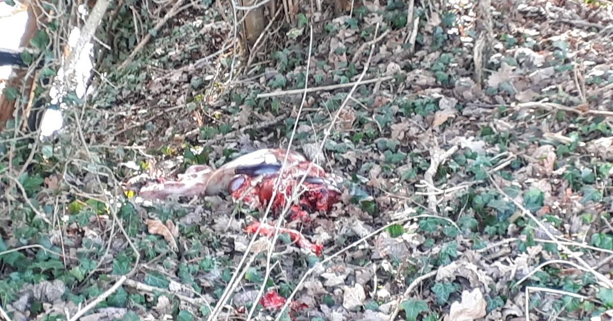 Wandelaar doet lugubere vondst in Winterswijk: resten van ree in bos