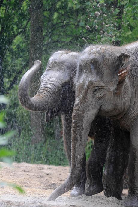 Wat nou zomerhitte? Dikke waterpret bij de olifanten in Blijdorp