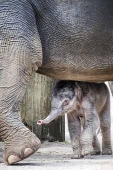 Pasgeboren olifantje goed in de groep opgenomen