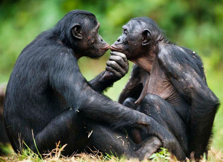 De bonobo heeft een zachtaardige reputatie. Beeld