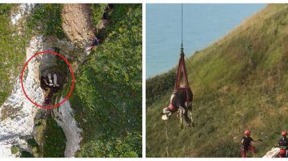 Koeien maken zware val van klif, brandweer takelt ze in harnas naar boven