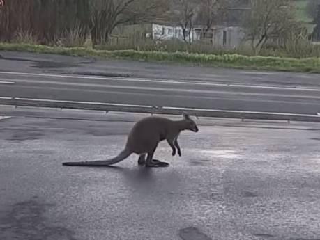 Un wallaby vagabond se promène dans les rues de Waimes