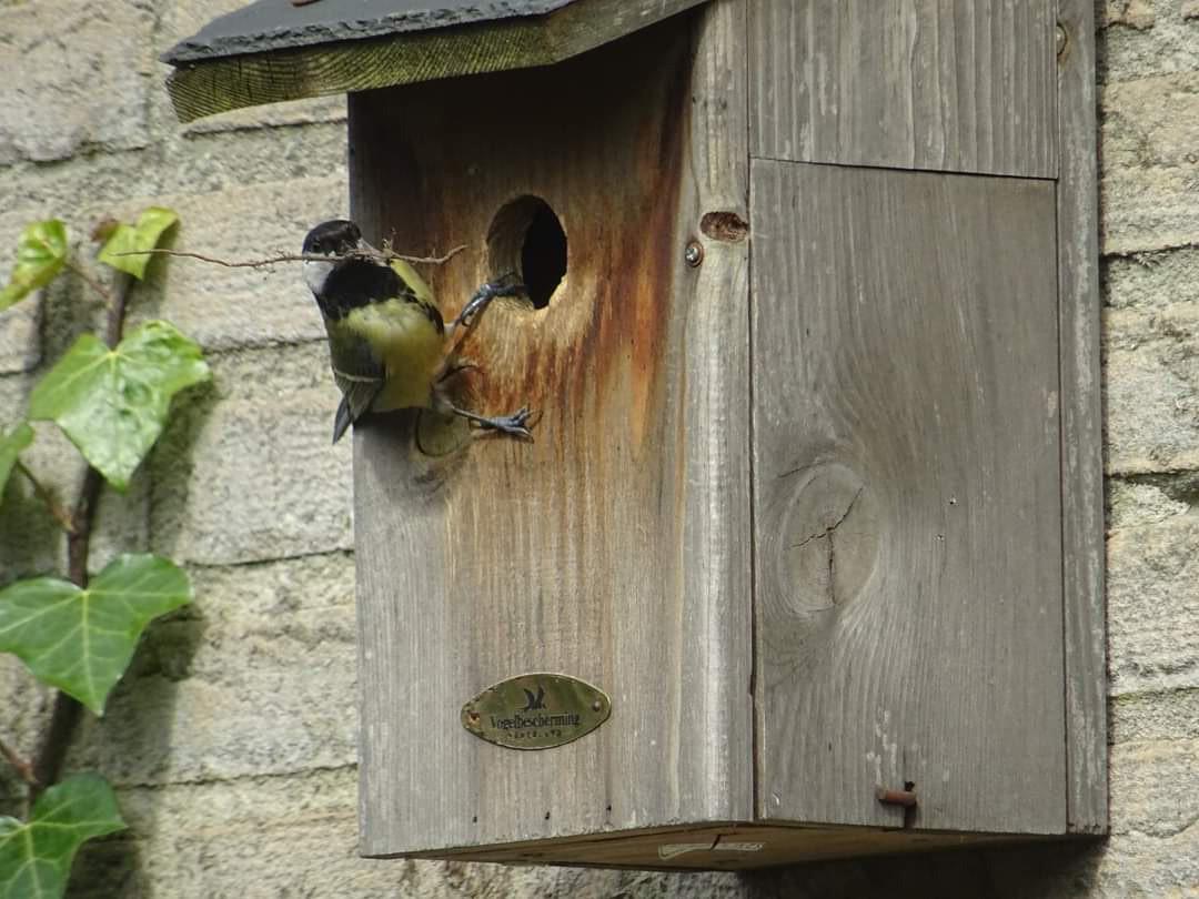 Een koolmeesje brengt nestmateriaal in een vogelhuisje.
