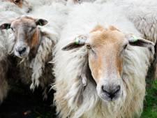 Grazende schapen langs A58 maken de weg vrij voor klaprozen