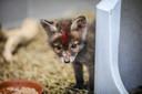 Er werden de jongste dagen veel dieren binnengebracht in het VOC in Oostende, zoals dit jonge vosje.