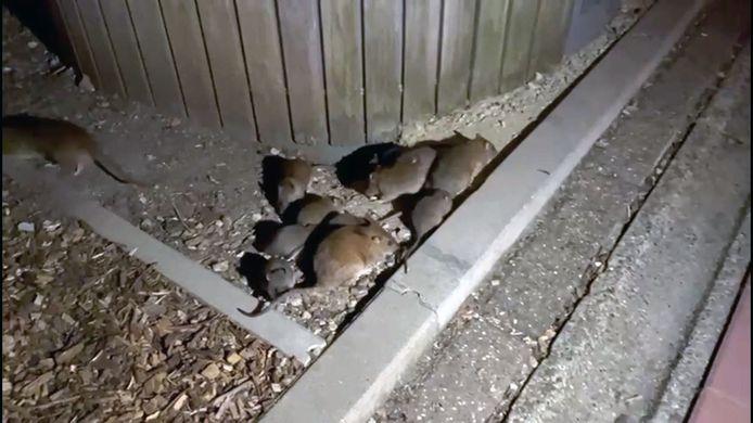 Ratten aan Den Dreef... en het zijn er nog veel meer dan je hier kan zien op de foto.