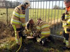 Video   Brandweer Hasselt redt ree uit hekwerk