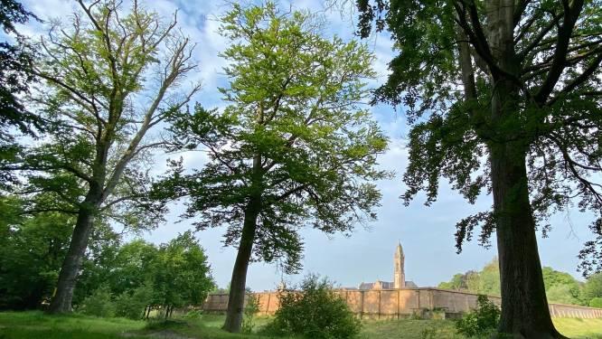Drie beuken aan Lourdesgrot nabij abdij van Tongerlo moeten gerooid worden