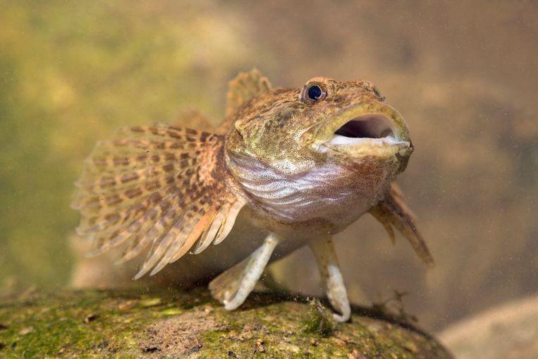 Een rivierdonderpad. Beeld Hollandse Hoogte / Buiten-Beeld