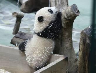 Reuzenpanda Yuan Bao steelt harten in Taiwan