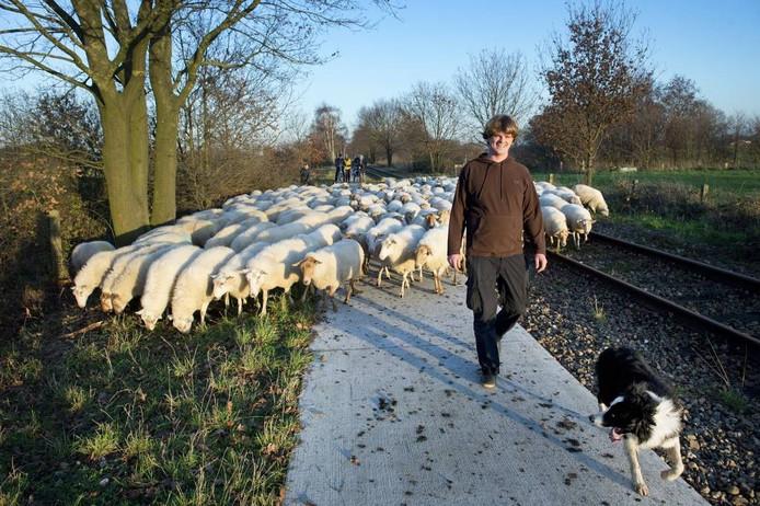 Herder Wouter Bos met zijn kudde. foto Bert Beelen