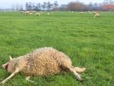 Vijf schapen gedood in Rosmalen, vijftien dieren verwond