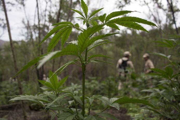 Mexicaanse soldaten onderzoeken een cannabisplantage.