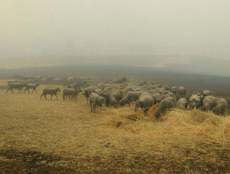 Zowat alle schapen konden in veiligheid gebracht worden.
