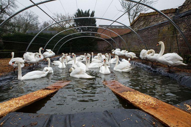 Door de ophokplicht werden de zwanen uit het Minnewaterpark in een zwembad gezet.