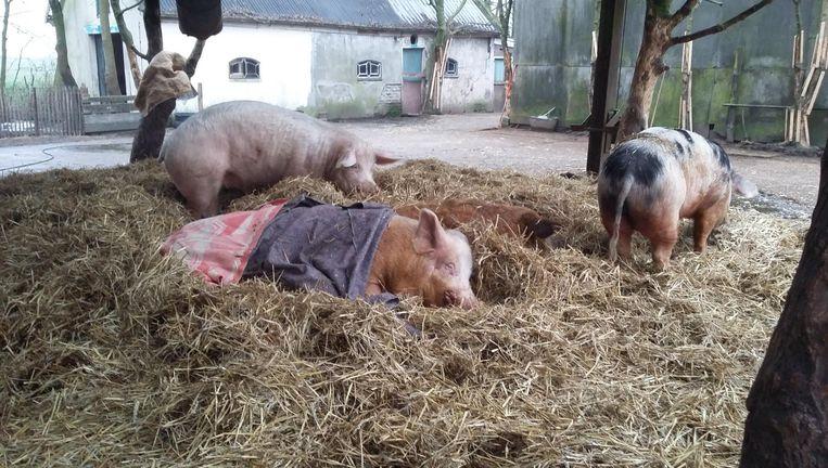 Alle zestig varkens in de opvang hebben de brand overleefd. Beeld Patrick Meershoek