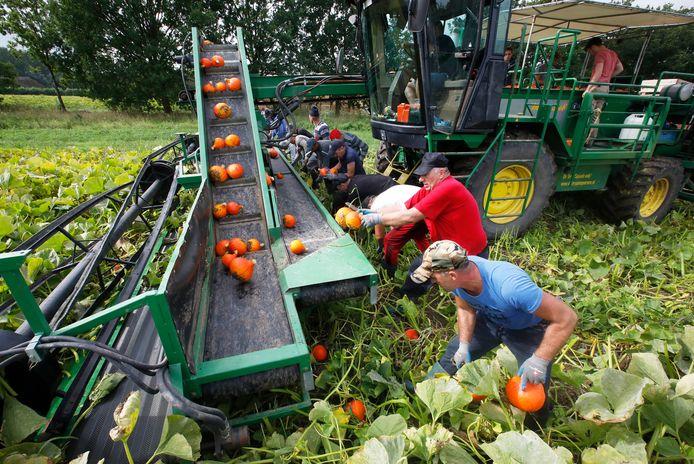 Arbeidsmigranten oogsten op landgoed Mariënwaerdt in Beesd de eerste pompoenen van het seizoen voor biologisch landbouwbedrijf De Terp uit Erichem.