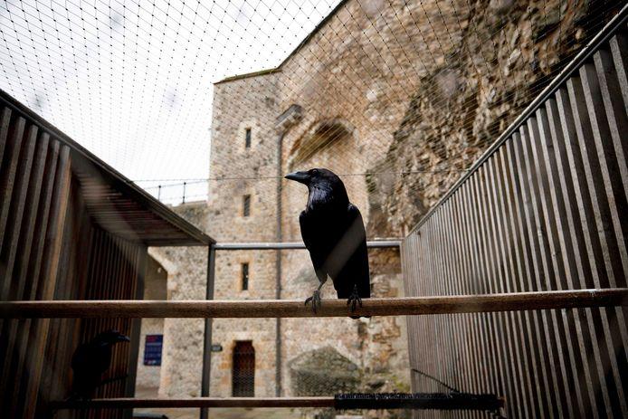 L'un des corbeaux de la Tour de Londres