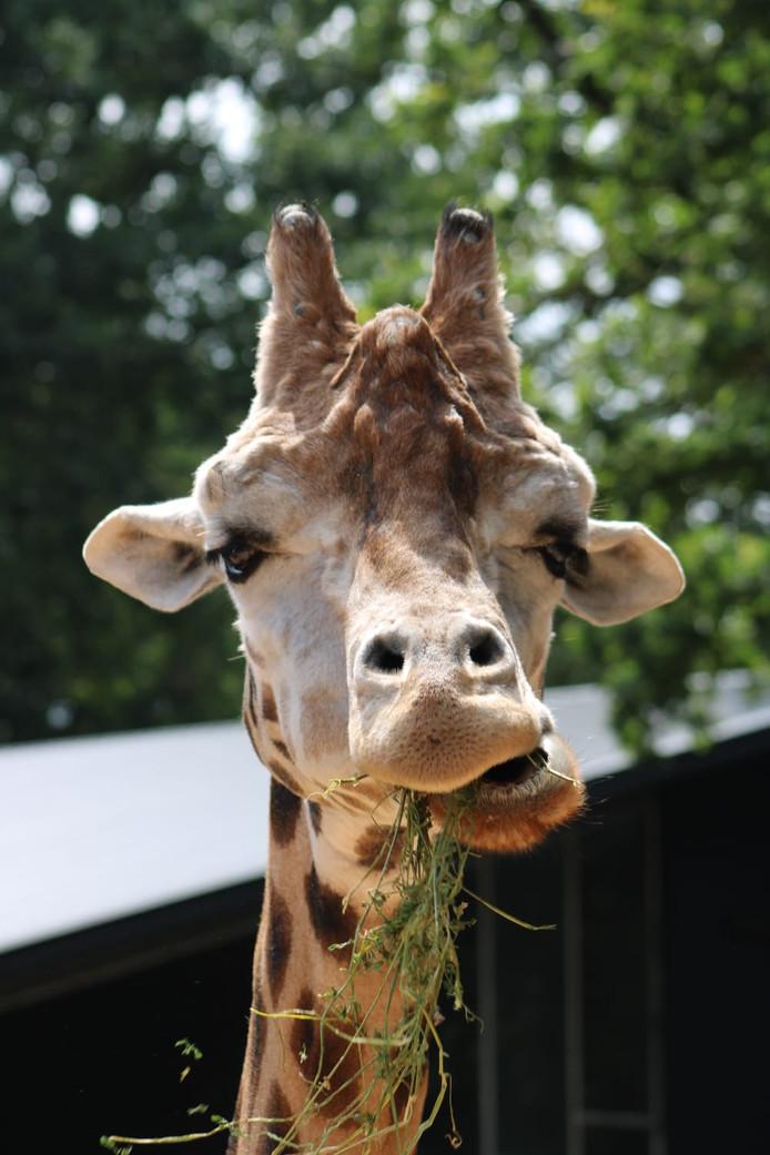 Wie van zijn onkruid afwil, kan terecht bij deze giraf in Ouwehands Dierenpark in Rhenen.