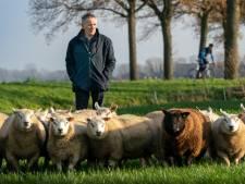 Schapenhouder Jos Verhulst: 'De wolf een blijvertje, beseffen we wel wat dat betekent?'