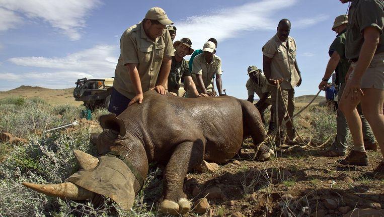 Wildbeschermers in Namibië bij een verdoofde neushoorn. Onderzoek naar het werk van rangers in Afrika volgt nog. Beeld Foto Dave Hamman