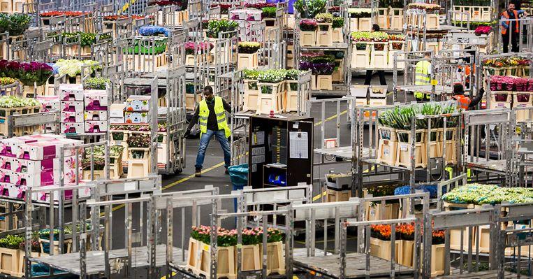 Bij de bloemenveiling Royal FloraHolland in Aalsmeer wordt een geplande loonsverhoging uitgesteld vanwege de onvoorziene coronacrisis. Beeld ANP