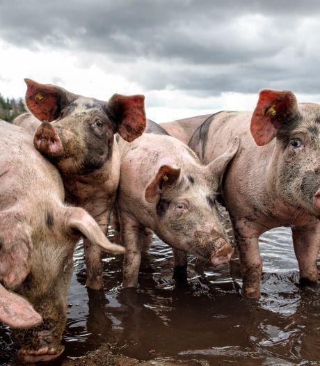 Iedereen baalt na debat over nieuwe varkensstal in Zeeland: 'Zonde van mijn tijd'